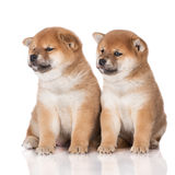Due cuccioli adorabili di inu di shiba Fotografie Stock