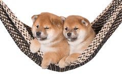 Due cuccioli adorabili di inu di shiba in un'amaca Immagine Stock Libera da Diritti