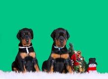 Due cuccioli che si siedono su un fondo verde Albero di Natale Il nero e Tan Doberman Fotografie Stock
