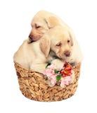 Due cuccioli con fiori. Fotografie Stock