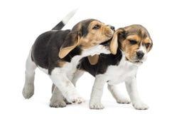 Due cuccioli dei cani da lepre che giocano insieme, Immagine Stock