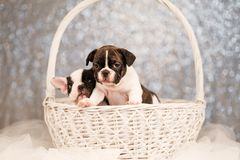 Due cuccioli del bulldog francese stanno sedendo in un canestro fotografia stock