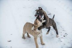 Due cuccioli del cane che giocano e che combattono nella neve Fotografia Stock