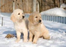 Due cuccioli del documentalista dorato in neve Immagine Stock