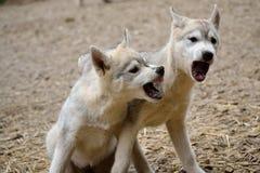 Due cuccioli del husky nella disputa allegra Fotografie Stock Libere da Diritti