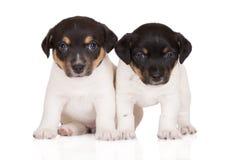 Due cuccioli del terrier di russell della presa insieme su bianco Fotografia Stock