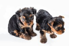 Due cuccioli del Terrier di Yorkshire Fotografie Stock