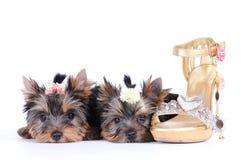 Due cuccioli del terrier di Yorkshire Immagine Stock Libera da Diritti