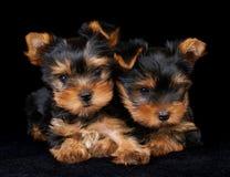 Due cuccioli del Terrier di Yorkshire sul nero Immagine Stock