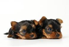 Due cuccioli del Yorkshire su priorità bassa bianca Immagine Stock Libera da Diritti