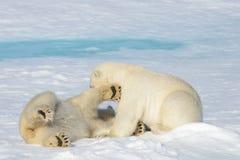 Due cuccioli dell'orso polare che giocano insieme sul ghiaccio Fotografie Stock Libere da Diritti