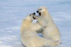 Due cuccioli dell'orso polare che giocano insieme sul ghiaccio Fotografia Stock Libera da Diritti