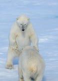 Due cuccioli dell'orso polare che giocano insieme sul ghiaccio Immagini Stock Libere da Diritti