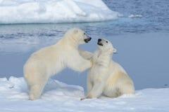 Due cuccioli dell'orso polare che giocano insieme sul ghiaccio Fotografia Stock