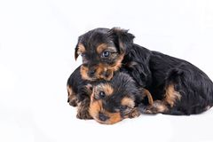 Due cuccioli dell'Yorkshire terrier che stringono a sé Fotografie Stock