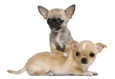 Due cuccioli della chihuahua, 2 mesi e 3 mesi Immagine Stock Libera da Diritti