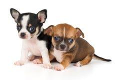Due cuccioli della chihuahua Immagine Stock