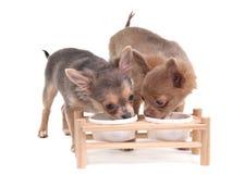 Due cuccioli della chihuahua che mangiano bere Immagine Stock