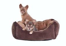 Due cuccioli della chihuahua in culla dell'animale domestico Fotografia Stock