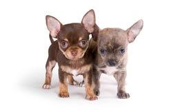 Due cuccioli della chihuahua su priorità bassa bianca Fotografie Stock Libere da Diritti