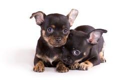 Due cuccioli della chihuahua su priorità bassa bianca Fotografie Stock