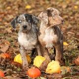 Cuccioli della Luisiana Catahoula con le zucche in autunno Fotografia Stock