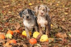 Cuccioli della Luisiana Catahoula con le zucche in autunno Fotografia Stock Libera da Diritti