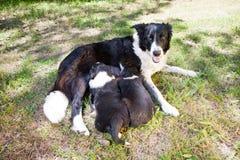 Due cuccioli di border collie, madre d'allattamento border collie Fotografie Stock