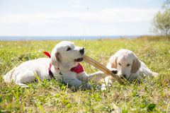 Due cuccioli di golden retriever che giocano con il bastone Due cani stanno giocando sull'erba su un fondo del cielo e del mare immagine stock
