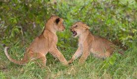 Due cuccioli di leone & x28; Leo& x29 della panthera; gioco immagini stock libere da diritti