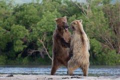 Due cuccioli di orso bruno che giocano su una bella mattina Immagini Stock Libere da Diritti