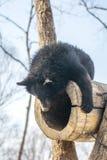 Due cuccioli di orso che giocano nella neve, negli alberi alti e nei cuccioli gay ruzzolanti fotografia stock libera da diritti