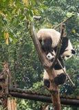 Due cuccioli di orso del panda che giocano nell'albero completano alla base Cina della ricerca di Chengdu Fotografie Stock Libere da Diritti