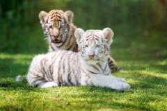 Due cuccioli di tigre adorabili all'aperto immagine stock libera da diritti