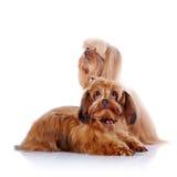 Due cuccioli di un cagnolino decorativo. Immagini Stock Libere da Diritti