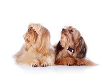 Due cuccioli di un cagnolino decorativo. Immagini Stock
