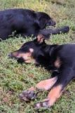 Due cuccioli esterni Fotografie Stock