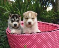 Due cuccioli husky Fotografie Stock Libere da Diritti
