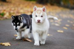 Due cuccioli husky immagini stock