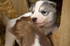 Due cuccioli husky Immagine Stock