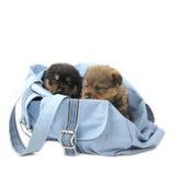 Due cuccioli nel sacchetto Immagini Stock Libere da Diritti