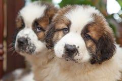 Due cuccioli piacevoli Fotografie Stock