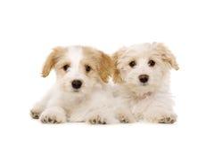 Due cuccioli posti isolati su un fondo bianco Immagini Stock Libere da Diritti