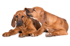 Due cuccioli rhodesian del ridgeback su bianco Fotografia Stock