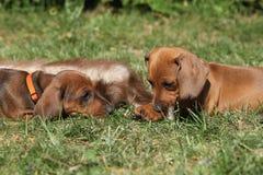 Due cuccioli stupefacenti del bassotto tedesco che risiedono nel giardino Fotografie Stock Libere da Diritti