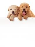 Due cuccioli svegli del chow-chow, isolati sopra fondo bianco fotografia stock