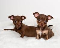 Due cuccioli svegli della chihuahua su pelliccia bianca Immagini Stock