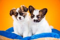 Due cuccioli svegli di Papillon su un fondo arancio Fotografia Stock