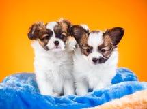Due cuccioli svegli di Papillon su un fondo arancio Immagine Stock