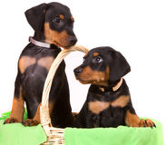 Due cuccioli tedeschi adorabili del pinscher Fotografia Stock